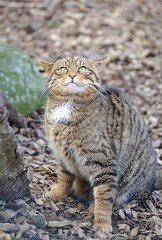 Scottish Wildcat (Michelle O'Connell Photography) Tags: cat scotland feline startled wildlife scottish predator moggy scottishwildcat fif scottishdeercentre michelleoconnellphotography