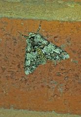 Oak Beauty Moth (paulfarrington46) Tags: beauty oak leeds moth moths british kirkstall springtime oakbeauty oakbeautymoth galaxys4