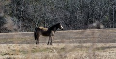 Horses Gazing-January 28, 2015-0005.jpg (albertjackson5750) Tags: goldenhorse beautifulhorse goldhorseinthemountains