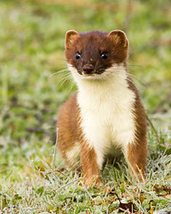 Stoat-0997 (kevinmayhew62) Tags: stoat roydoncommon