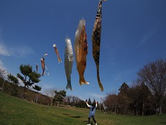 Can she catch the carp? (murozo) Tags: blue sky japan spring fisheye 日本 carp akita 秋田 streamer 春 鯉のぼり 青空