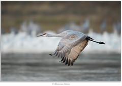 Oldest of rituals (Khurram Khan...) Tags: wild birds newjersey nikon wildlife nikkor migration bosquedelapache avian sandhillcranes wadingbirds birdphotography wildlifephotography