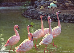 Dance of the flamingos (derena_d.) Tags: birds zoo stand spain december many flock canaryislands lots touristattraction colony alot spoonbill regiment 2014 oddoneout flamboyance oasispark fuertenventura