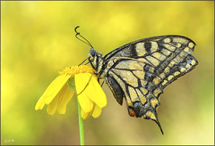 Moribunda (- JAM -) Tags: naturaleza flower macro nature insect nikon ngc flor explore jam mariposas d800 insecto macrofotografia explored lepidopteros juanadradas