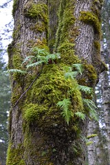 Fern Growth (shireye) Tags: fern tree moss nikon bc britishcolumbia blackcreek d610 hugetree 24120 brackenpark