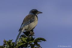 Western Scrub-Jay (Bob Gunderson) Tags: california birds northerncalifornia jays peninsula sanmateocounty sanbrunomountain westernscrubjay aphelocomacalifornica corvids canoneos7dmarkii