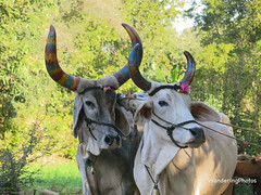 Two decorated cows operating a Persian-style water wheel - Rural Rajasthan India (WanderingPJB) Tags: india rajasthan cows decorated water wheel img smileonsaturday crazycouples waterwheel persianstyle holi horns paint