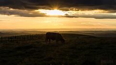 Golden Aubrac (ElmerstarK) Tags: sunset france cow vache coucherdesoleil laguiole aveyron couchersoleil aubrac midipyrénées condomdaubrac
