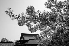✪ご近所のお寺さんの河津桜② -愛知県犬山市- (m-miki) Tags: japan cherry nikon blossom 桜 愛知 寺 犬山 d610 河津桜 永泉寺