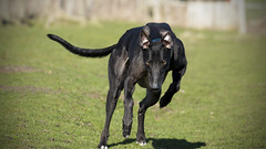 Run Forest Run! (David Sumpton) Tags: rescue dog pet greyhound black green forest canon ears running run adopted sighthound brighteyes retiredracer exracer 70d scottishgreyhoundsanctuary