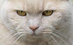 Cat Face (grahambrown1965) Tags: eye animal cat nose eyes feline pentax pussy sigma whiskers whisker shorthair british puss britishshorthair pussie catseyes justpentax 150500mm sigma150500mm pentaxart 15005000mmf5063 sigma150500mmf563dgos pentaxk5iis k5iis