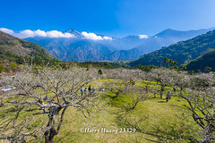 Harry_23329,,,,,,,,,,,,,,,,,,,,,Plum,Plum Tree,Tree,Fruit,Farm (HarryTaiwan) Tags: tree fruit nikon farm plum taiwan     plumtree d800                      harryhuang  hgf78354ms35hinetnet adobergb