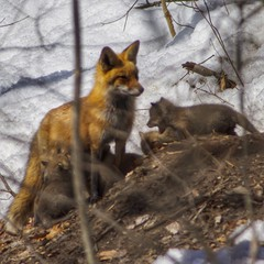 Foxes (awevans4) Tags: red animal wildlife newengland newhampshire nh fox kits hampton redfox