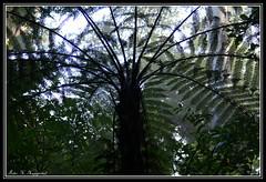 Silver fern (K. Haagestad) Tags: fern leaves branches nz manginangina