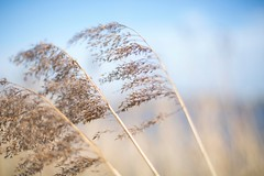 Standing in the wind (t.renes) Tags: blue summer plants plant flower reed nature netherlands weather yellow standing landscape stand photo spring wind picture nederland blow riet