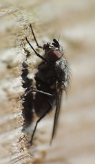 Photo of Fly on a fence, Sandy, Bedfordshire