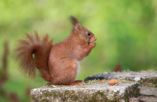 Red Squirrel: Sciurus vulgaris