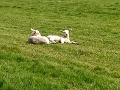 Chilled lamb (Jonathan Bateman) Tags: