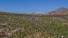 A scanner darkly (RoyBatty83) Tags: flower trekking landscape pentax hiking crocus tuscany k5 appennino tappo kitlenses appenninopistoiese pentaxkitlenses pentaxda1855wr pentaxk5 pentaxda1855alwr tuscanyappennine