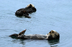 Two Wild Sea Otters (Rennett Stowe) Tags: cute animal relax back relaxing cuddly friendly float seaotter cuteanimals friendlyanimals kickingback kickback aquaticmammals cuddlyanimals aquaticanimals animalsfriends twootters cutewildanimals wildseaotters floatingonyourback twoseaotters