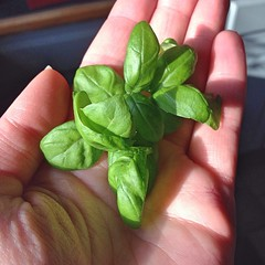 "A few baby basil leaves from the root cellar of the farmhouse made our family  dinner into a feast. We dined on our own canned tomato sauce from last year's garden over pasta garnished with these basil leaves and a bit of Parmesan  it was a delicious remi • <a style=""font-size:0.8em;"" href=""http://www.flickr.com/photos/54958436@N05/17412670611/"" target=""_blank"">View on Flickr</a>"