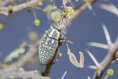 319A8680 Beetle - Buprestidae sp. tbd, Sharjah. (Priscilla van Andel (Uploading database)) Tags: beetle buprestidae buprestidaefamily beetlesoftheuae