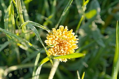 Lwenzahn (welenna) Tags: lwenzahn dandelion flowers blume blumen gelb frost raureif spring fruhling boke