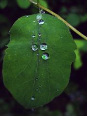 Water drops (Greelow) Tags: greelow sweden sverige stockholm drop leaf goutte hydrophobic water feuille plant green sony