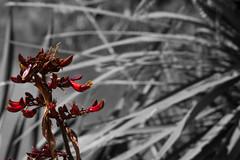 Flax (Sparkles Whitaker) Tags: auckland floraandfauna rangitotoisland 2015 rotoruaisland