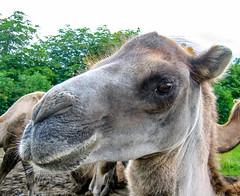 Camelus (jforberg) Tags: 2005 animal hair denmark zoo camel givesrud