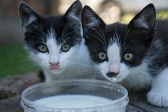 milk (Rambynas) Tags: cat milk pets explore