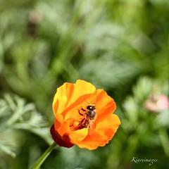 Bravoo! (kiareimages1) Tags: fiori fleurs flowers flores fioriselvaggi fleurssauvages pavotdecalifornie papaveri coquelicot images immagini imagery imagenes insetti insectes abeilles api bee