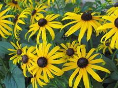 IMG_4045 black-eyed susans (jgagnon63@yahoo.com) Tags: flowers flowersofescanaba domesticflowers july summer canong12 escanaba yellow blackeyedsusan