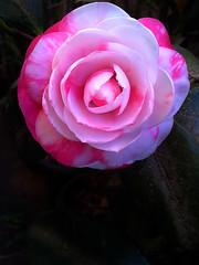 Camélia branca e vermelha - (Camellia) (Valter França) Tags: camélia ornamental planta vegetal camellias simples dobradas chá