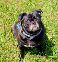 Pauly! (k9cfa) Tags: sleepy sleepyhead texas katy dog pauly pug