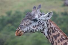 Masai Giraffe - Giraffa camelopardalis tippelskirchi (lhirlimann) Tags: africa kenya wildlife animalia mammalia npp giraffa girafe afrique animalportrait giraffacamelopardalistippelskirchi chordata masaigiraffe artiodactyla nairobinationalpark giraffidae gcamelopardalis