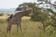 Young Giraffe (paulinuk99999 (lback to photography at last!)) Tags: paulinuk99999 nairobinationalpark kenya wildlife sal70400g giraffe