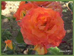 Toro (Zamora) 05 rosa naranja (ferlomu) Tags: flor rosa toro zamora ferlomu