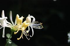 Honeysuckle (Graham Beeley) Tags: flower honeysuckle lonicerapericlymenum ruffordcountrypark