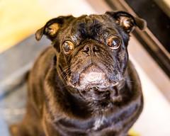 BaconTime (C_Dubyaa) Tags: black pug dog waiting begging