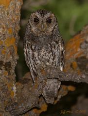 Flammulated owl (Jmawnster) Tags: owl flammulatedowl psiloscopsflammeolus