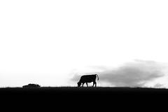 (anita.niza) Tags: bw kuh cow vache emmental burgdorf dttisberg