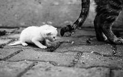 IMG_9426.JPG (esintu) Tags: istanbul cat baby white stray street