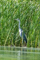 Alles im Blick - Keep an eye on everything. (ralfkai41) Tags: water birds reiher vogel lake animals nature wasser heron graureiher outdoor greyheron natur tiere see