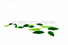 Leaf flow made from lime leaves (freshstockphoto) Tags: background branch citron citrus close closeup color cut design detail eco ecology environmental flow flowing forest fresh grapefruit green grenadine herb icon illustration ingredient isolated leaf leave lemon lime macro mandarin natural nature orange organic plant pomegranate raw spring studio summer tangerine texture tropical up vietnam view white wind young