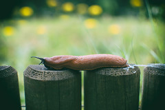 Summer Slug (cuppyuppycake) Tags: summer slug insect crawl slimey nature flowers slippery outdoors wildlife