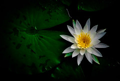 Beauty on the pond (Pedro1742) Tags: lily pond flower white leaves green radial yellow