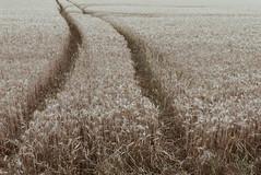 Phone cam: Beautiful nemesis. (LauraKiora) Tags: wheat phone field cambridge ely summer farm