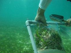 Seagrass Biomass Sample-Ready to be Analyzed_rez (Dugong Seagrass) Tags: id2 indonesia fieldwork seagrass survey sample
