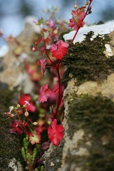 Wild Flowers on a Country Wall (janroles) Tags: wall weed red bokeh dof depthoffield moss stone flickr nature canoneos400d